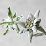 Pure altitude Edelweiss